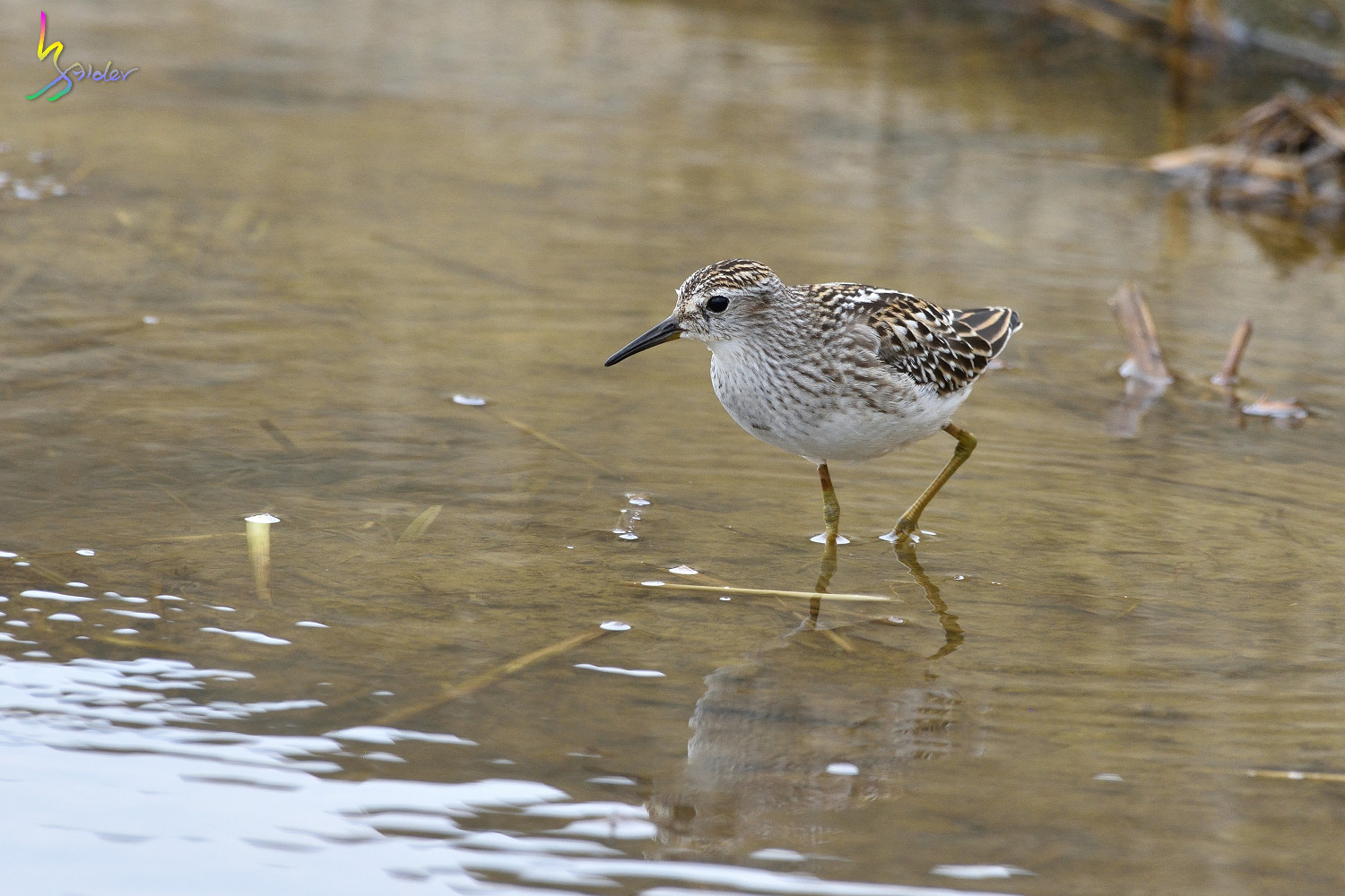 Long-toed_Stint_5801
