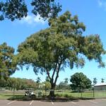 Acacia confusa tree