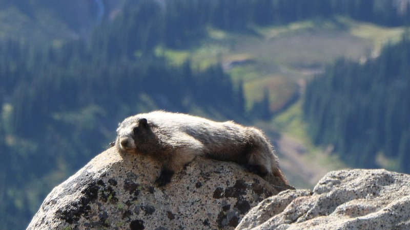 Zoomed-in shot of the laziest marmot I've ever seen, on the southwest ridge of Cloudy Peak