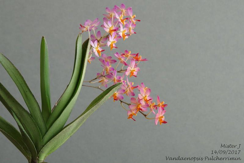 Vandaenopsis Pulcherrimin (Phalaenopsis pulcherrima X Vanda miniata) 37220077375_c4e6691862_c
