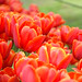 Tulips by malc1702
