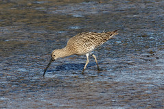 IMGP4620a Curlew, Titchwell Marsh, September 2017