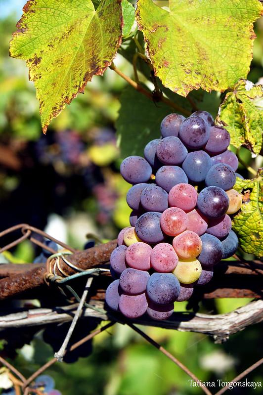 Гроздь винограда в черногорском саду
