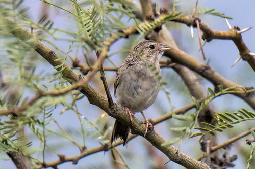 Portal: Botteri's Sparrow