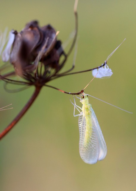 lacewing, Canon EOS REBEL T6I, Canon EF 100mm f/2.8L Macro IS USM
