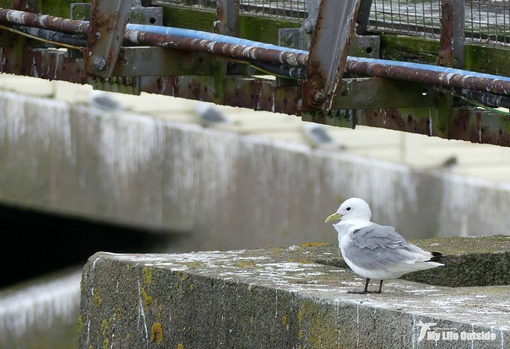 P1100902 - Kittiwakes, Mumbles Pier