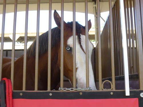 THIS BUD'S FOR YOU  (ONE OF THE CLYDESDALE HORSES)