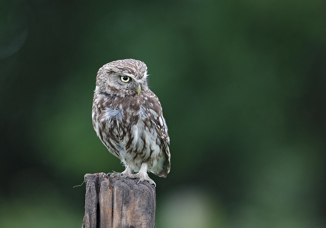 Little Owl, Canon EOS-1D X MARK II, Canon EF 500mm f/4L IS II USM