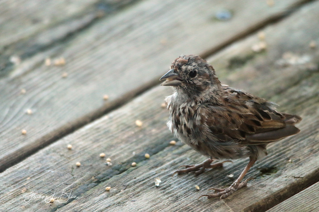 IMG_0200_Molting Song Sparrow