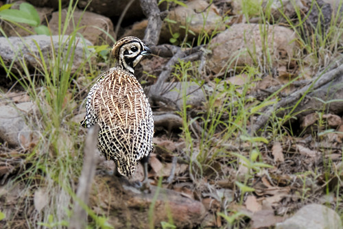 portal.montezuma quail.3837