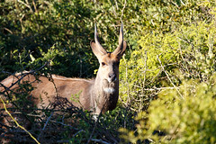 Blesbok standing and staring at you