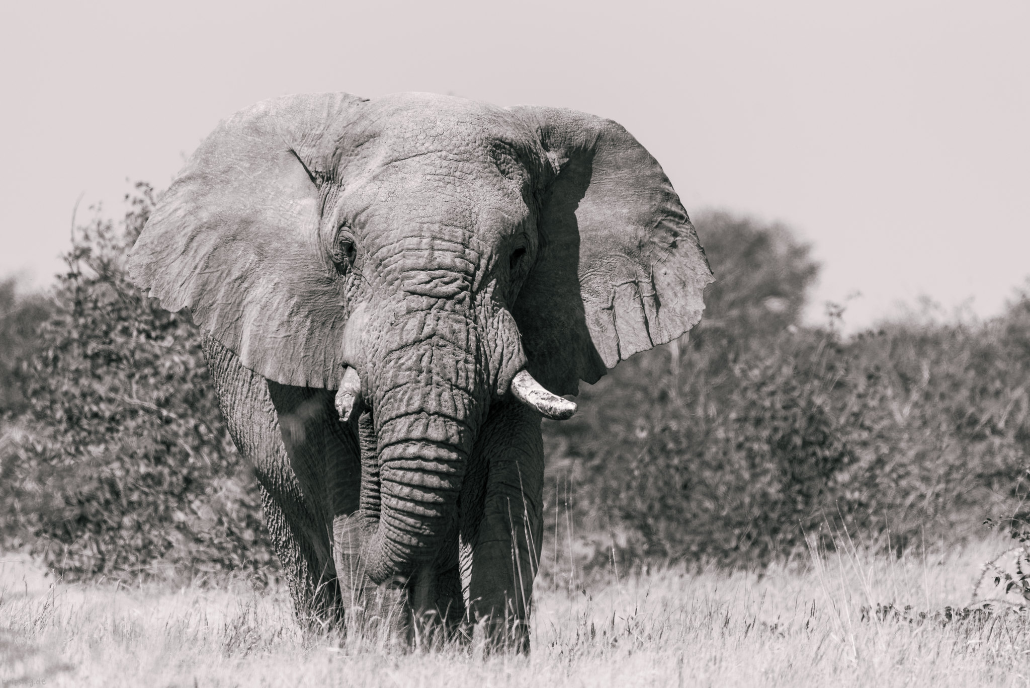 B/W elephant