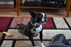Boston Terrier Yoga