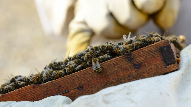 Honeybees, South Glenmore Park
