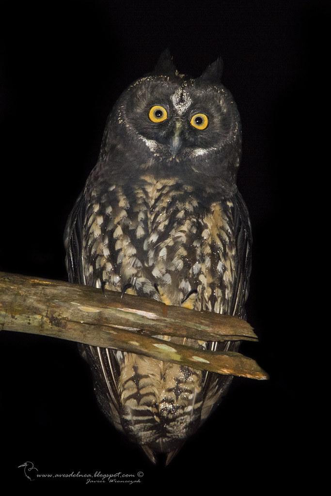 Lechuzón Negruzco (Stygian Owl) Asio stygius (Wagler, 1832)
