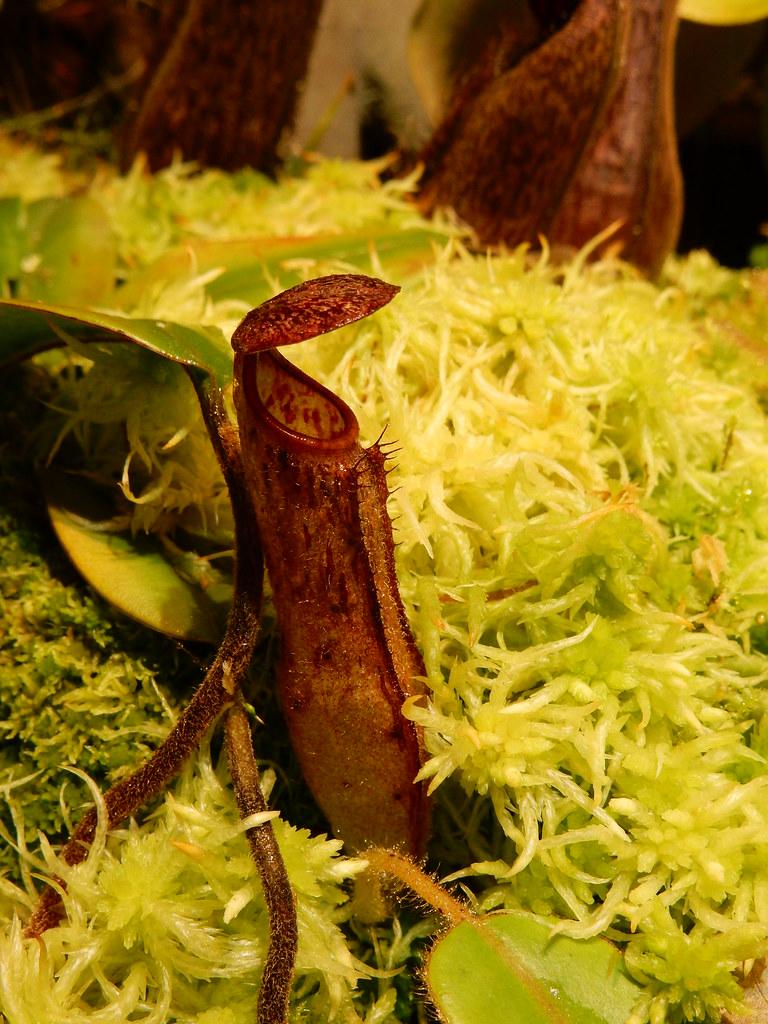 Nepenthes glanduliferiga