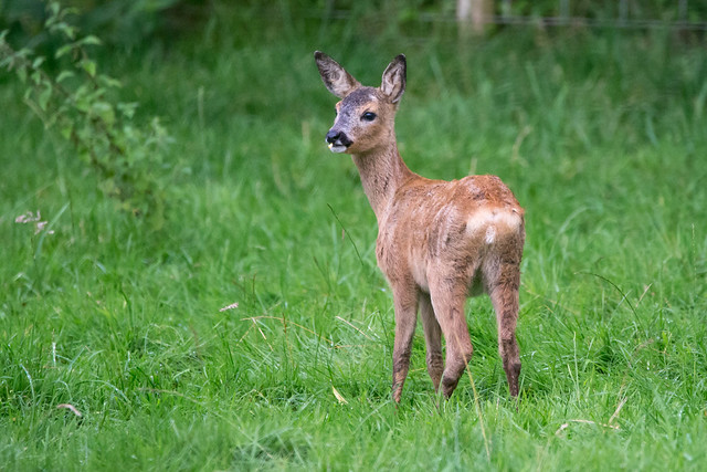 Roe Deer fawn, Canon EOS 100D, Sigma 150-600mm f/5-6.3 DG OS HSM | C