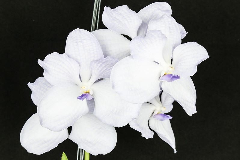 Vanda Lavender Mist