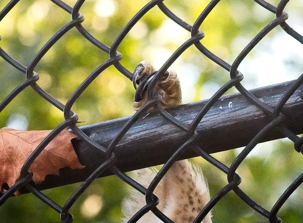 Tompkins fledgling #1 stuck in a fence