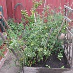 cherry tomato planting in Raised Bed 1 by midiprincess