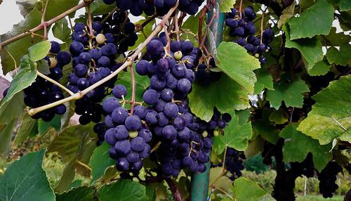 Mézédes kékfrankos szőlőfürtök (Felsőcsatár)