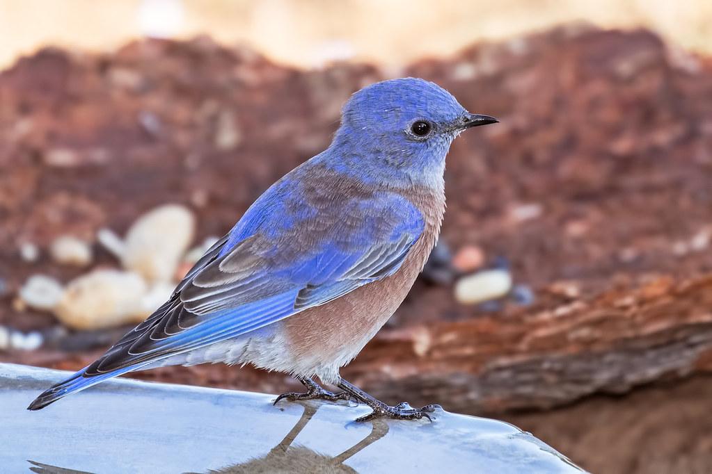 Western-Bluebird-18-7D2-091217