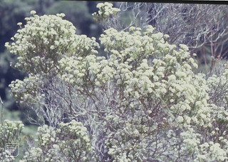 Metalasia muricata. White daisy bush. Garden Route. Knysna Forest. November, 1994