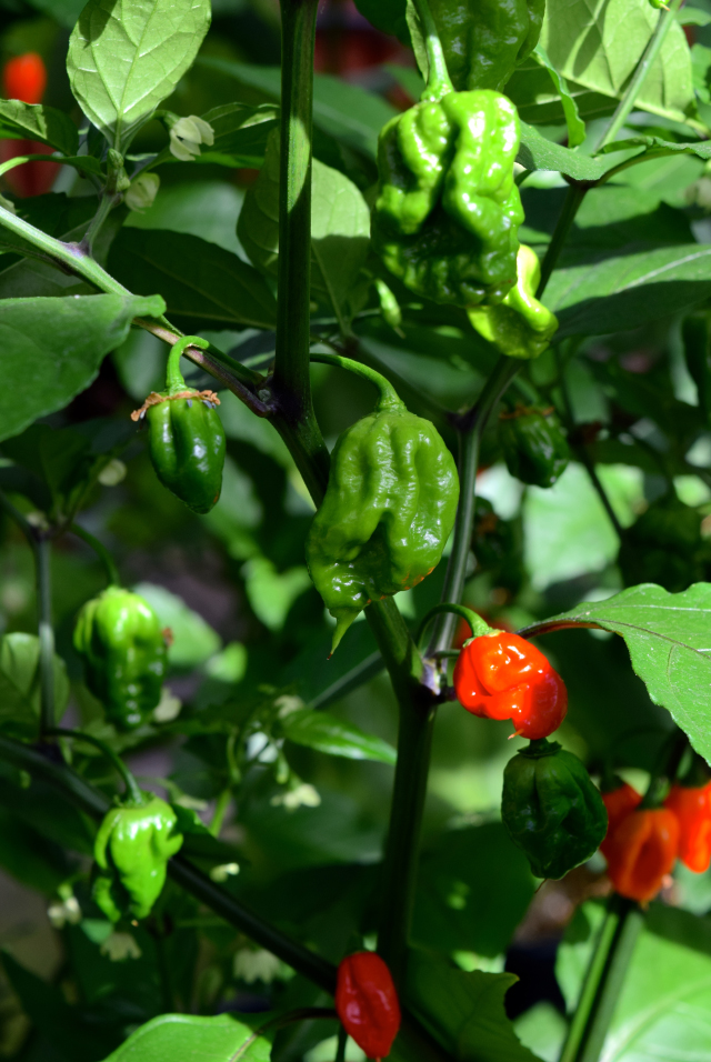 Hottest Chilli in the World - Carolina Reaper | www.rachelphipps.com @rachelphipps