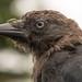 Jackdaw (Corvus monedula) close up of head in profile