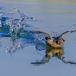 Selección de fauna de las lagunas de La Guardia (Toledo) II