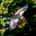 Grey Buzzard Eagle