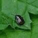 Bordered Shieldbug --- Legnotus limbosus by creaturesnapper