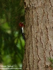 Red-breasted Sapsucker arrives