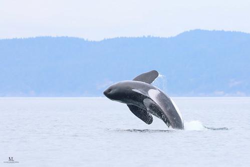 Killer whale - Épaulard - Orcinus orca