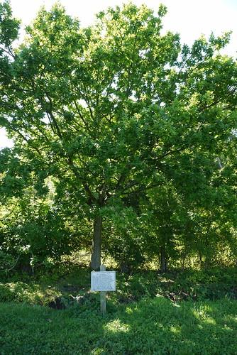 The Magna Carta Memorial Oak at Runnymede