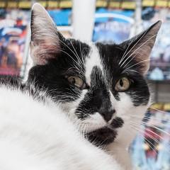 Shopcat Domino
