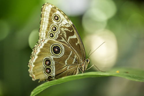 august harriscounty houston houstonmuseumofnaturalscience texas usa animal butterfly green image macro photo photograph f35 mabrycampbell july 2017 july292017 20170729campbellh6a6253 100mm ¹⁄₁₀₀sec 500 ef100mmf28lmacroisusm