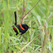 Red-backed Fairywren by christinaportphotography