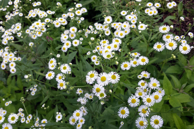 dozens of small daisy-like flowers viewed from above