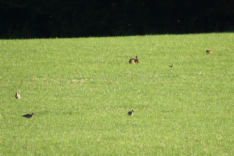 Curlew, Hare and Swallow