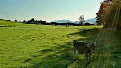 GOOD MORNING BAVARIA #morning #bavaria #cow #alps #mountains #grass #atmosphere #cabin #trees #sunshine #Landschaft #landscape #Photographie #photography
