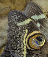 Owl Moth Wing Macro
