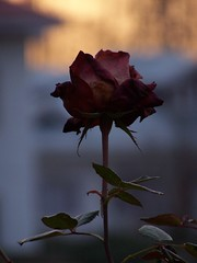 Rose and sunset