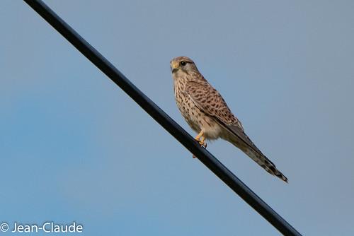 Falco tinnunculus ♀ - Kestrel