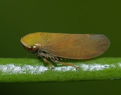 Bronze olive spur legged plant hopper Ipoini sp Cicadellidae Airlie Beach rainforest P1050180