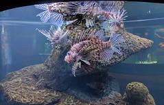 Lionfish at the North Carolina Aquarium at Fort Fisher