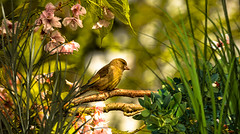 A Greenfinch from my yard. (Long time ago in Spring Hill)