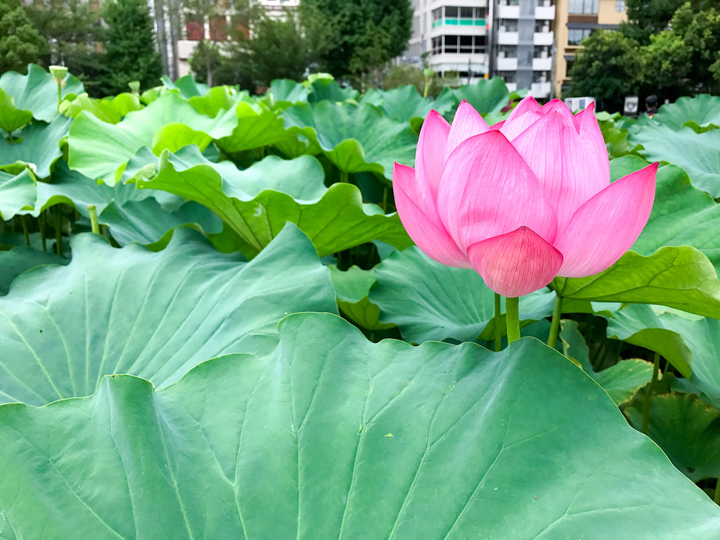 Lotus Plants at Shinobazu Pond, Tokyo, Japan.