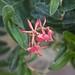 Epidendrum porpax x radicans