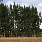 Araucaria columnaris windbreak